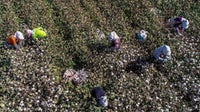 Farmers picking cotton in a field in Hami in China's northwestern Xinjiang region. Getty Images