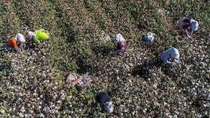 Farmers picking cotton in a field in Hami in China's northwestern Xinjiang region | Source: Getty Images