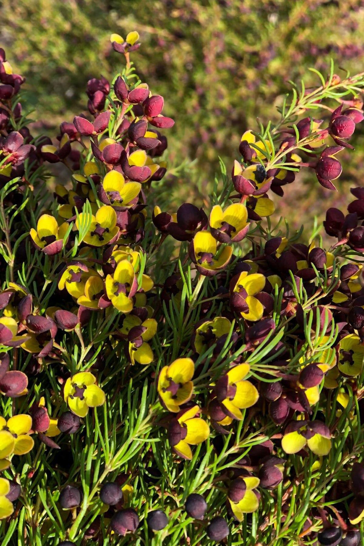 Essential Oils of Tasmania grows boronia megastigma flowers as one of its botanical ingredients. Essential Oils of Tasmania.