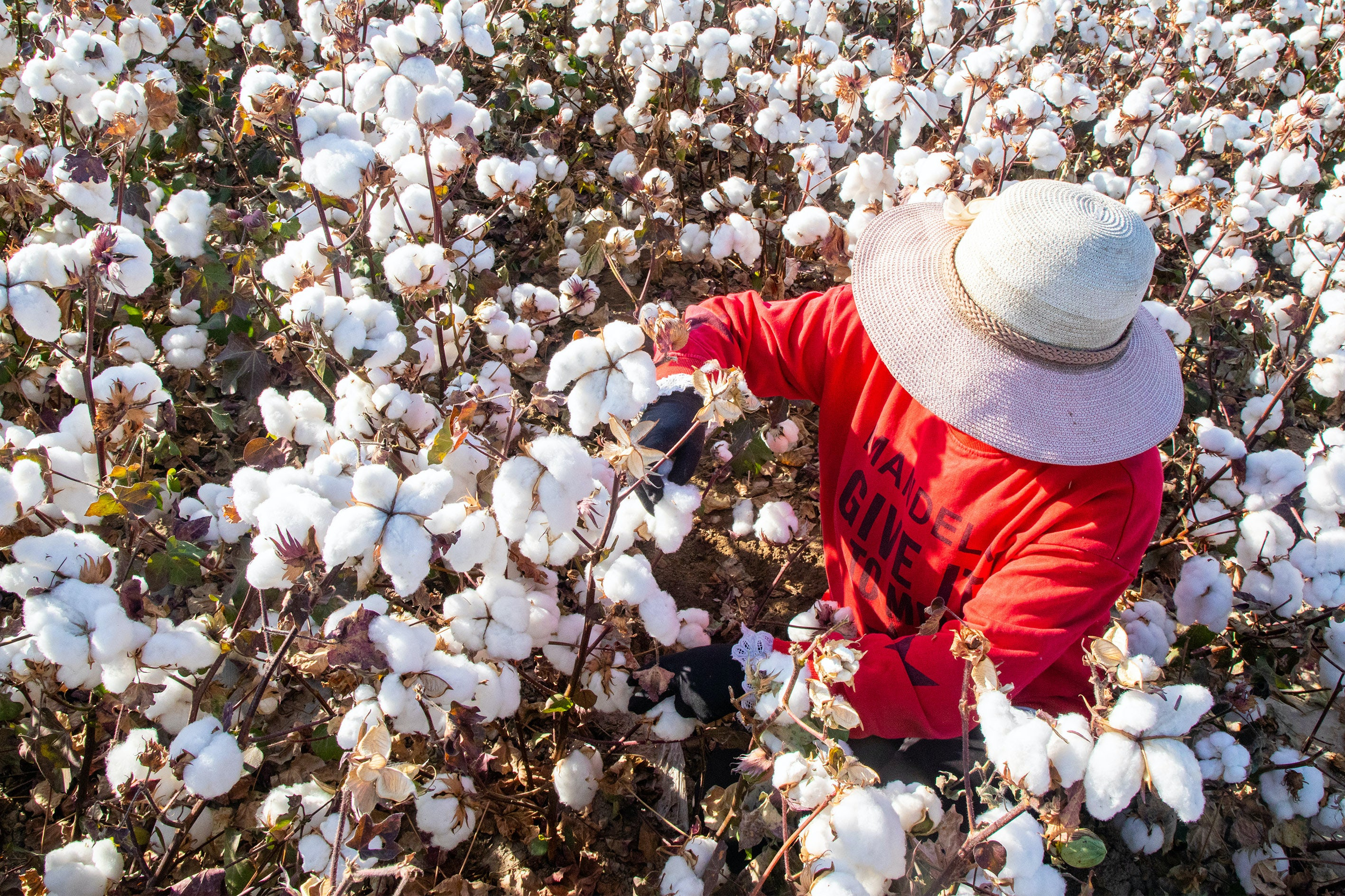 A farmer harvests cotton in Hami, Xinjiang Uighur autonomous region of China. Getty Images.
