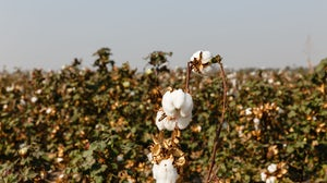 Cotton fields in Uzbekistan. Shutterstock.