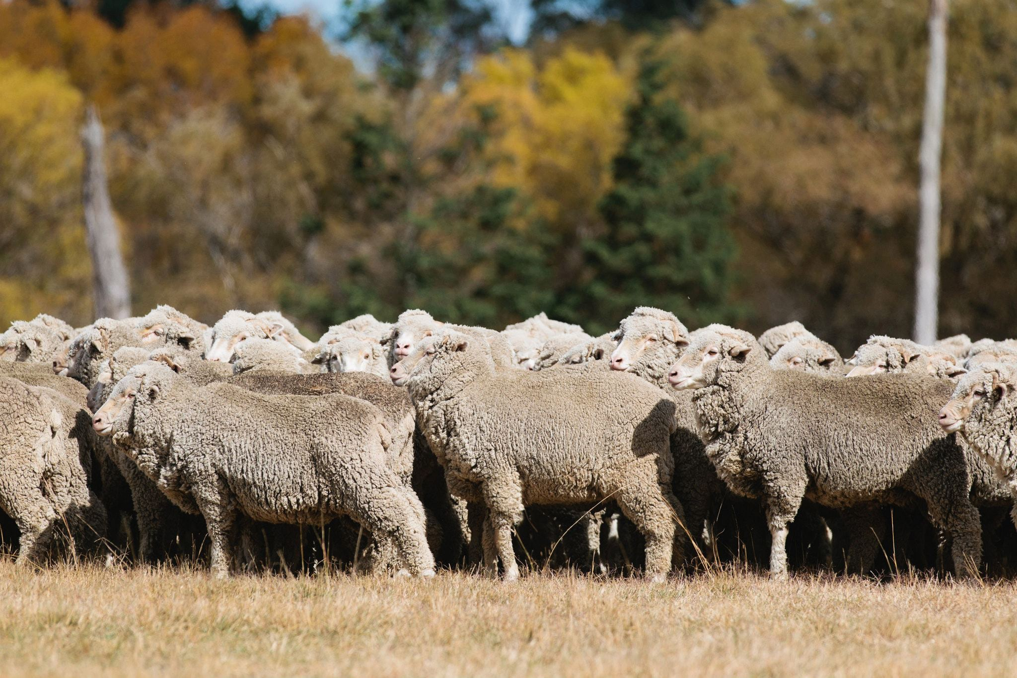 Australian Sheep | Source: Zegna Facebook Page