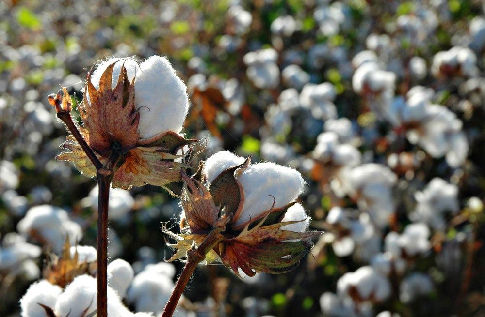 Cotton fields | Source: Shutterstock