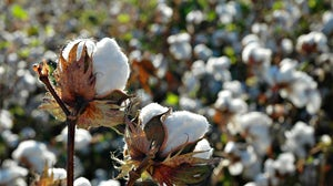 Cotton fields | Source: Shutterstock