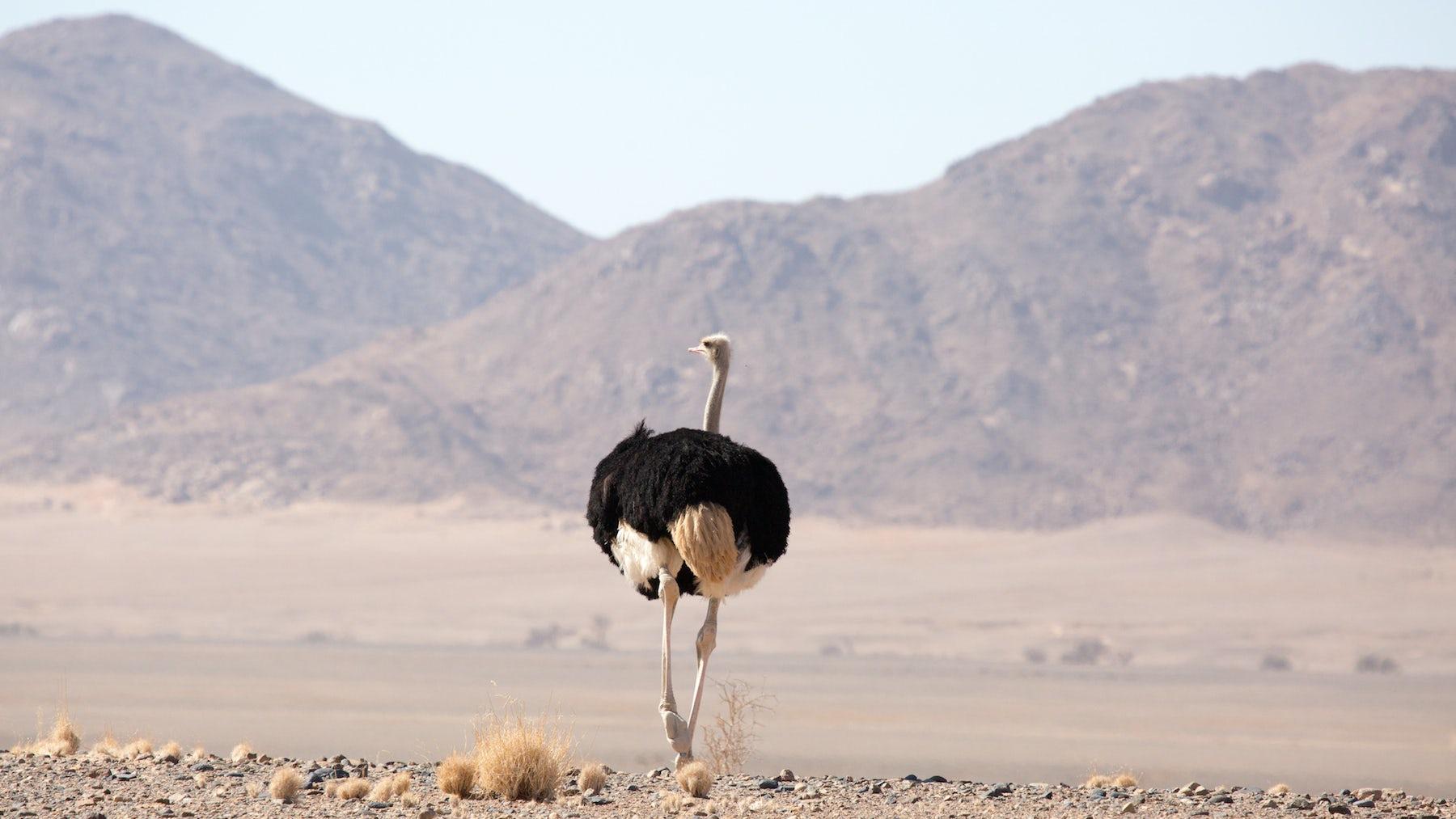 Ostrich traversing sand | Source: Shutterstock