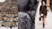 Raccoon dogs at a fur farm, fur, Fendi Autumn/Winter 2015   Source: PETA, Saga Furs, InDigital