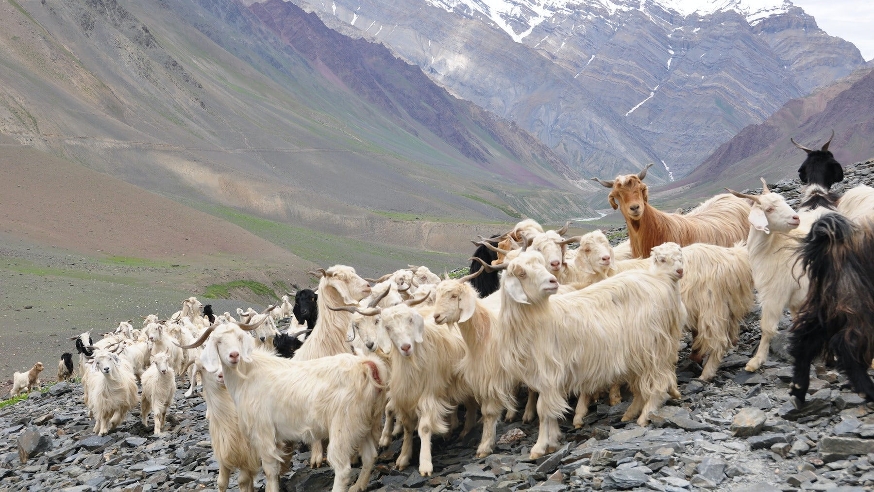Cashmere goats | Source: Flickr/Jelle Visser