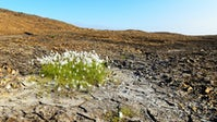 Cotton grows in cracked earth | Source: Shutterstock