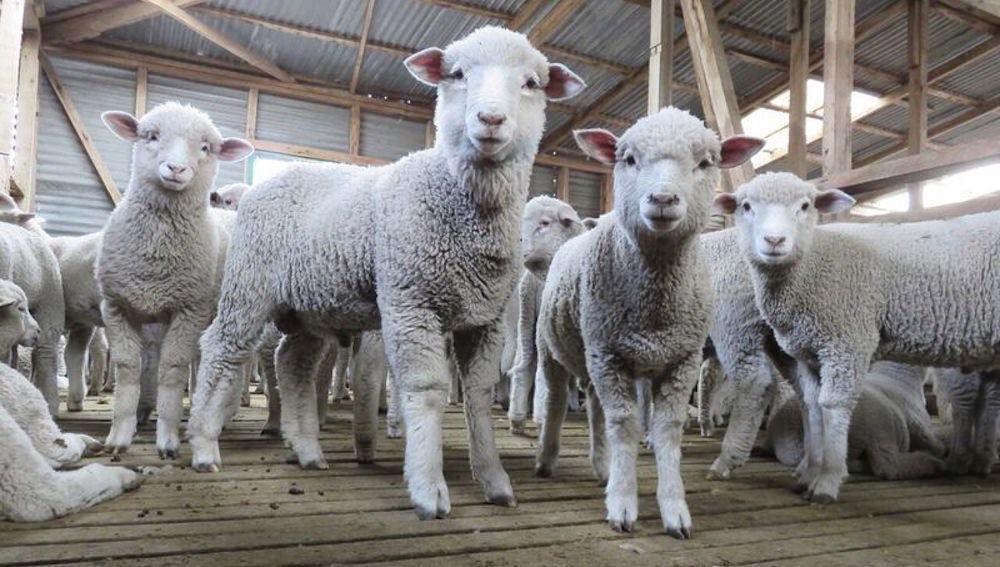 Op-Ed | Wool Can Be Just as Cruel as Fur