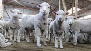 Lambs being kept as part of the wool industry   Source: PETA