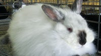 An angora rabbit sits in a cage | Source: Shutterstock