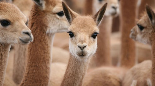 cute little lovely vicuna
