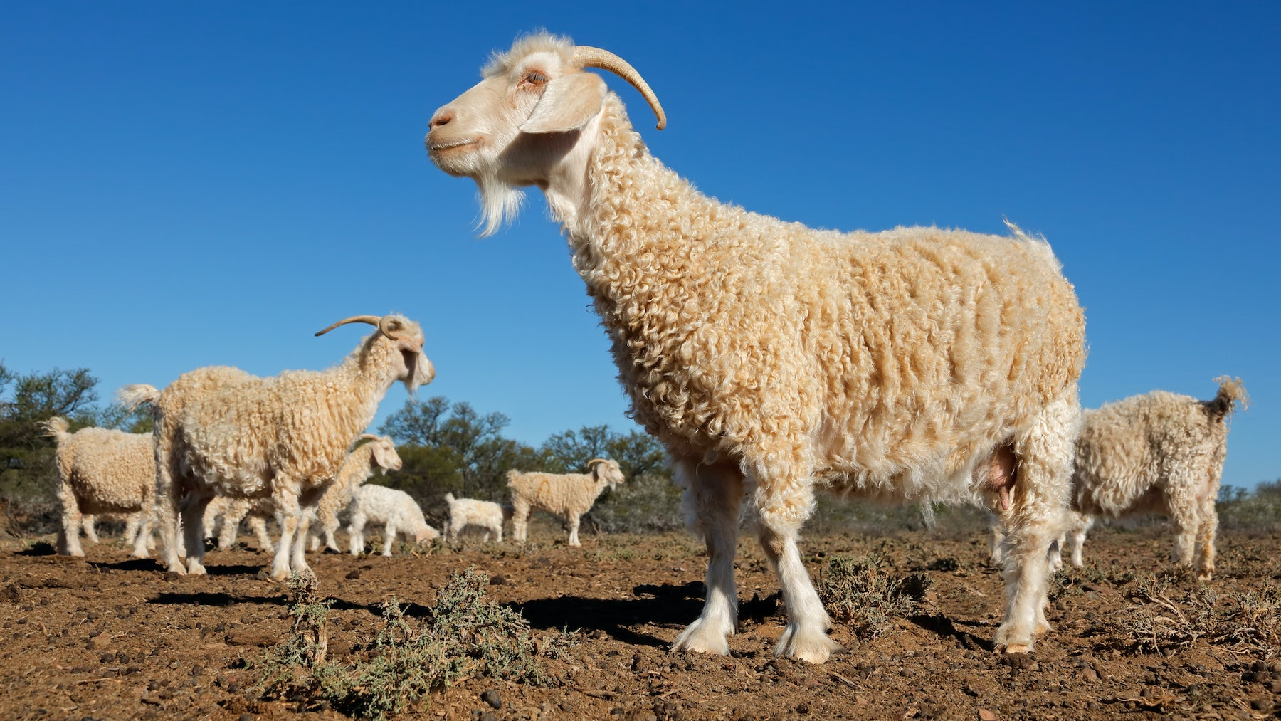 $117 Million South African Mohair Industry Threatened by H&M, Inditex Ban