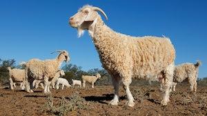 Angora goats on a rural African farm | Source: Shutterstock